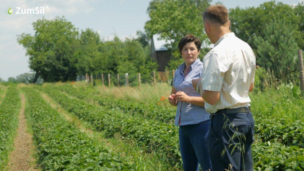 Na plantacji truskawki Pani Marty Wołoszyn  zastosowano krzem organiczny w postaci ZumSilu. Fot. Perma-Guard Agro
